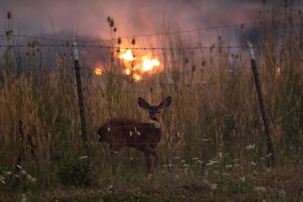 california wildfires deer