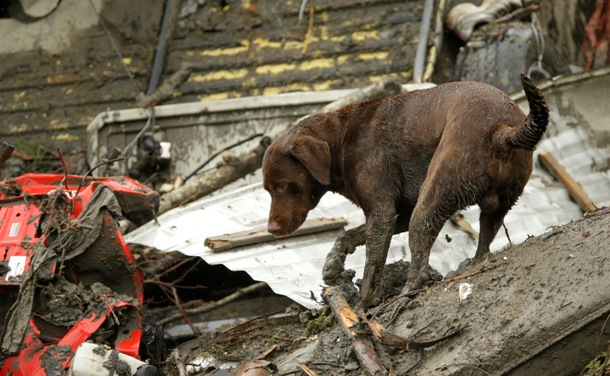 A rescue dog looks for survivors at the site of the Oso mudslide