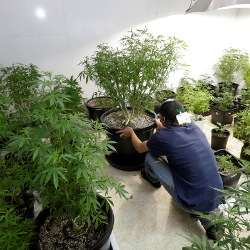 Johnnie Seitz moves a marijuana plant growing under lights at Sea of Green Farms, a recreational pot grower in Seattle.