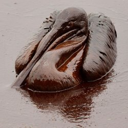 Pelican BP oil spill