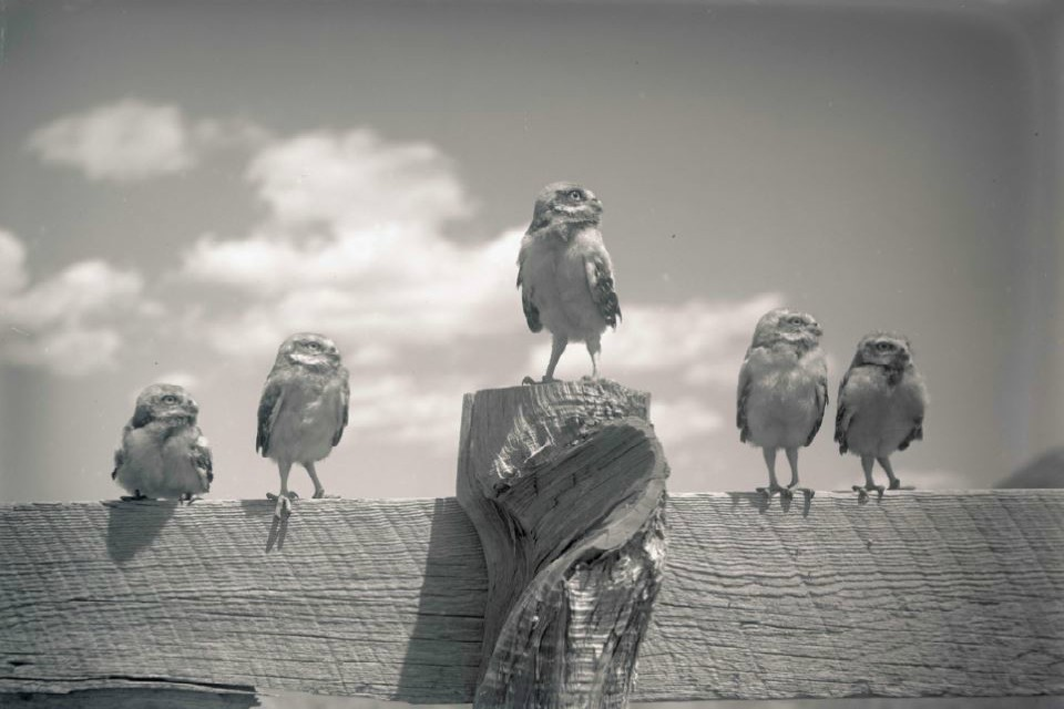 Five small burrowing owls standing on a fence wall, Lost River, Oregon, 1905 (Courtesy of OHS).