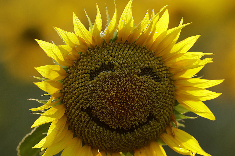 A smiley face is seen on a sunflower in a sunflower field in Lawrence, Kansas, Sept. 7, 2016. Over the past decade as income in the U.S. has gone up, self-reported happiness levels have fallen fast, some of the biggest slides in the world. Yet this year, Norway vaulted to the top slot in the annual World Happiness Report despite the plummeting price of oil, a key part of its economy. (AP Photo/Charlie Riedel)