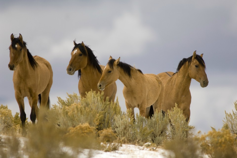 Wild mustangs from the Kiger Management Area are shown near Diamond, Ore. A federal judge has ruled that the U.S. Bureau of Land Management violated environmental law by rounding up wild horses in eastern Oregon without fully considering the impact of its actions. (Jamie Francis/The Oregonian via AP, File)