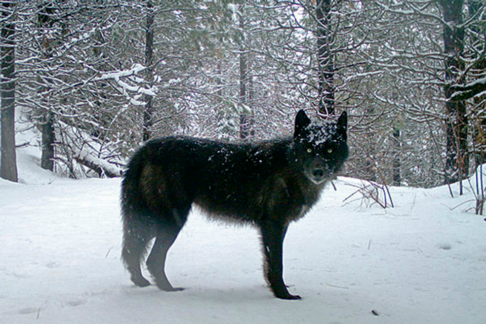 This February, 2017 file photo provided by the Oregon Department of Fish and Wildlife shows a wolf of the Wenaha Pack captured on a remote camera on U.S. Forest Service land in Oregon's northern Wallowa County. The Oregon Department of Fish and Wildlife said in a report released Monday, April 8, 2019 that the number of known wolves in Oregon at the end of 2018 was 137, a 10 percent increase over the previous year. (Oregon Department of Fish and Wildlife via AP, File)