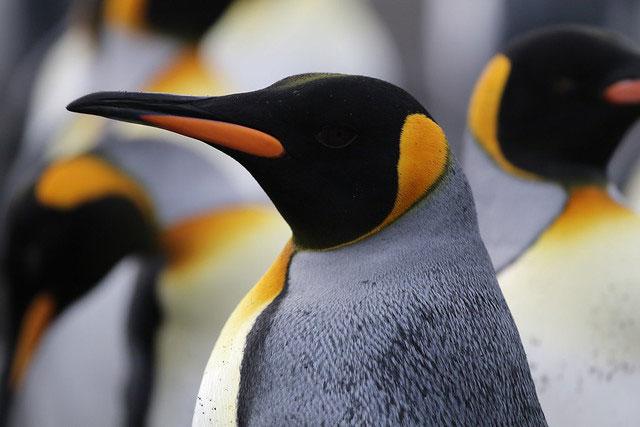 dr jasmine african king penguin med