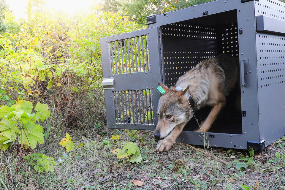 Gray wolf released