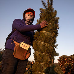 A worker holds a bundled Christmas tree ready for shipment at McKenzie Farms on Saturday, Nov. 20, 2020 in Oregon City, Ore.