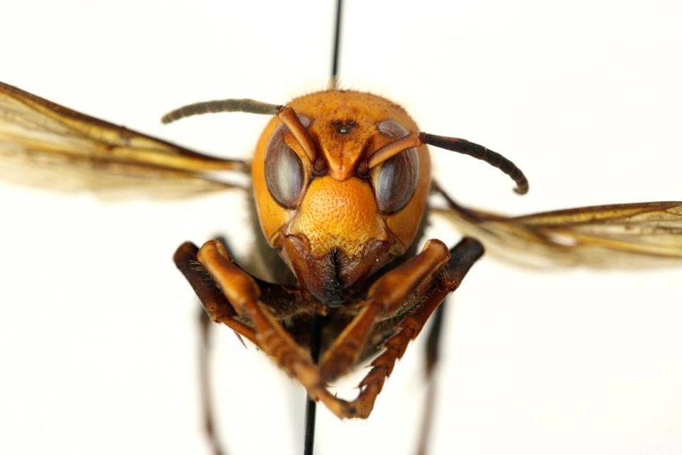 asian giant hornet face 960