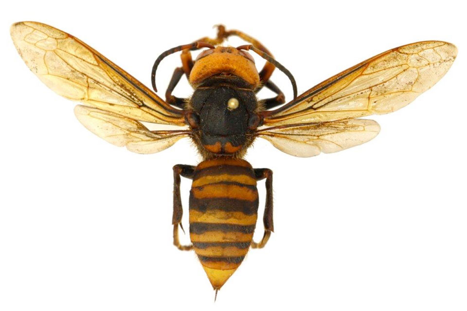 The public is asked to report sightings of the Asian giant hornet in Oregon. (Photo/OSU)