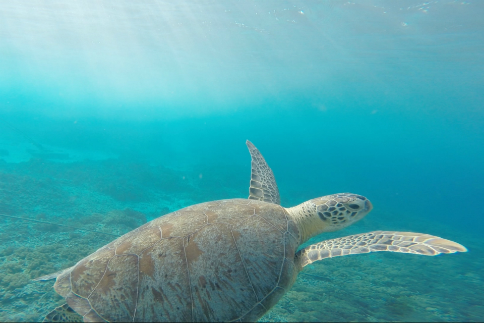 Sea turtle underwater