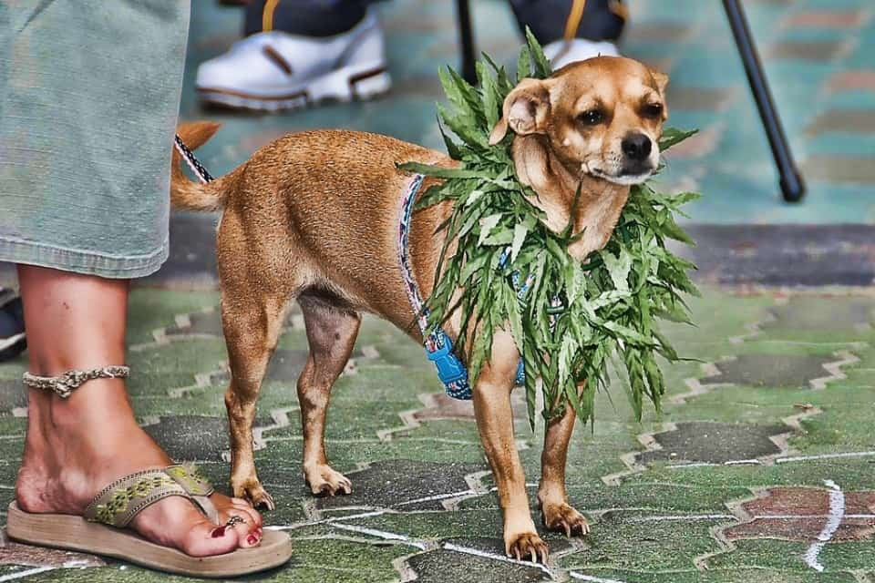 New York, California, Nevada and Utah have introduced bills to allow veterinarians to prescribe marijuana and begin the path for clinical research